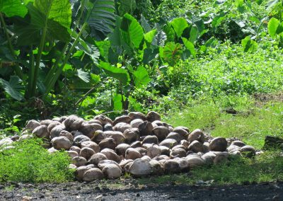SBS Reports: Samoa's Economy Riding the Wave of Coconut Trend